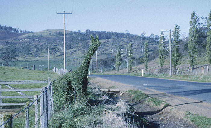 Photograph - Midland Highway - Oatlands - topiary and 'Avenue of Honour' trees
